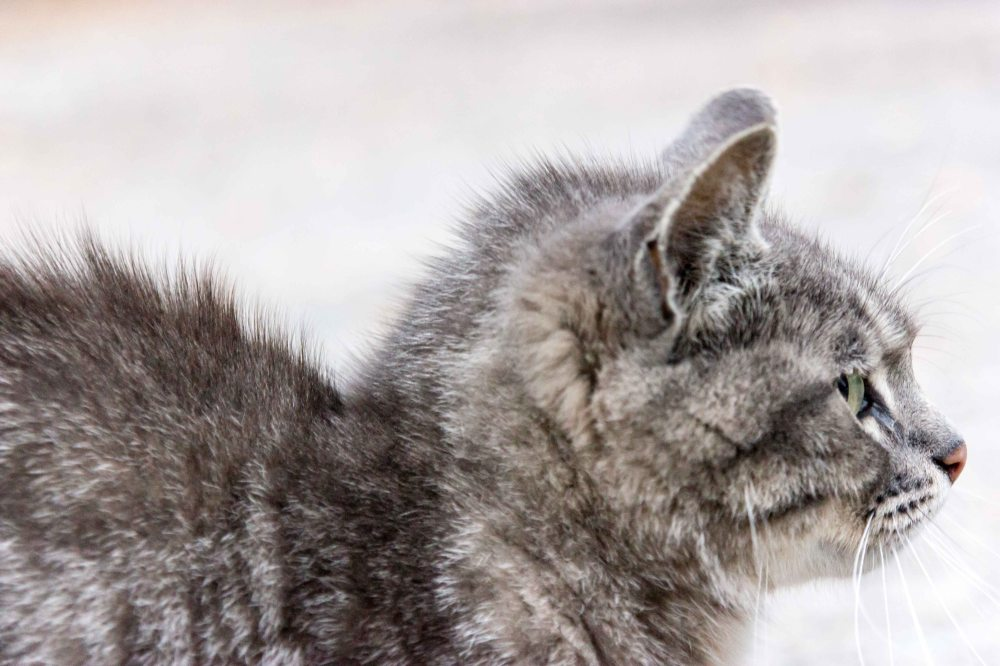 Pripyat Cat